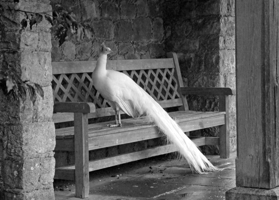 White Peacock at Leeds Castle, Kent